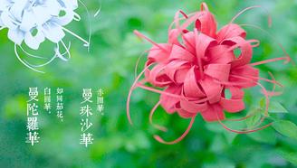 手工折纸高颜值彼岸花,简单漂亮,逼真的不敢相信自己的眼睛!